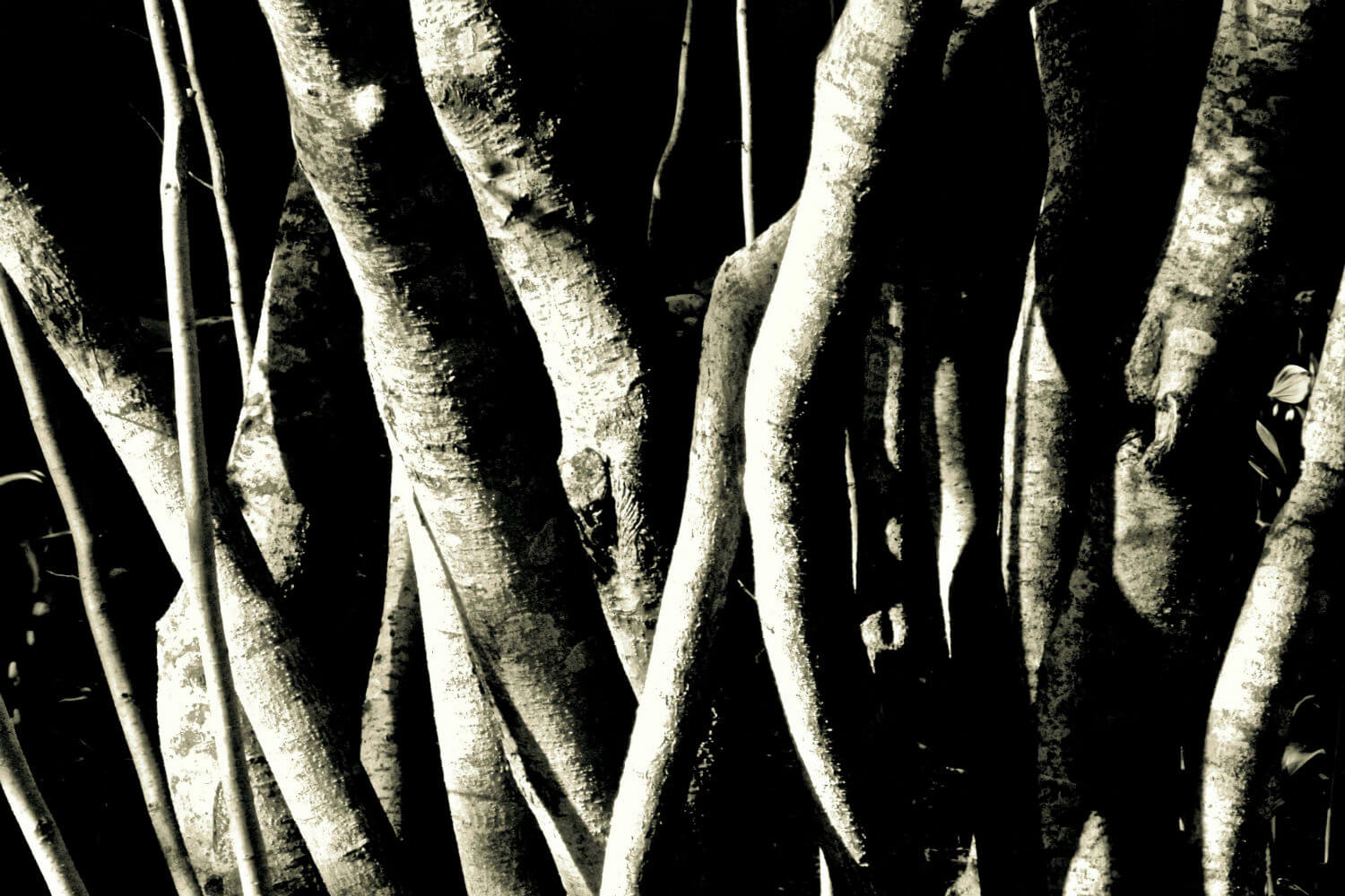 "at 61, 20"" x 30"" tree roots liz fiedorek fine art photography ny rhode island"