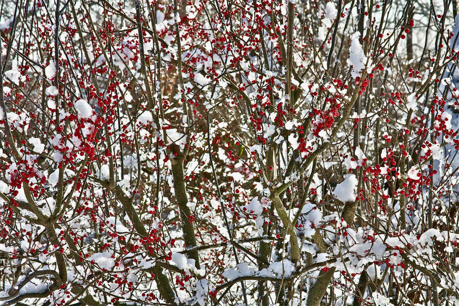 "Quoquonset Lane I, 40"" x 59"" red berries and snow on branches liz fiedorek fine art photography ny rhode island"